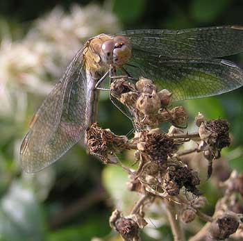 Brown Hawker (Photograph by Brenda Collins)