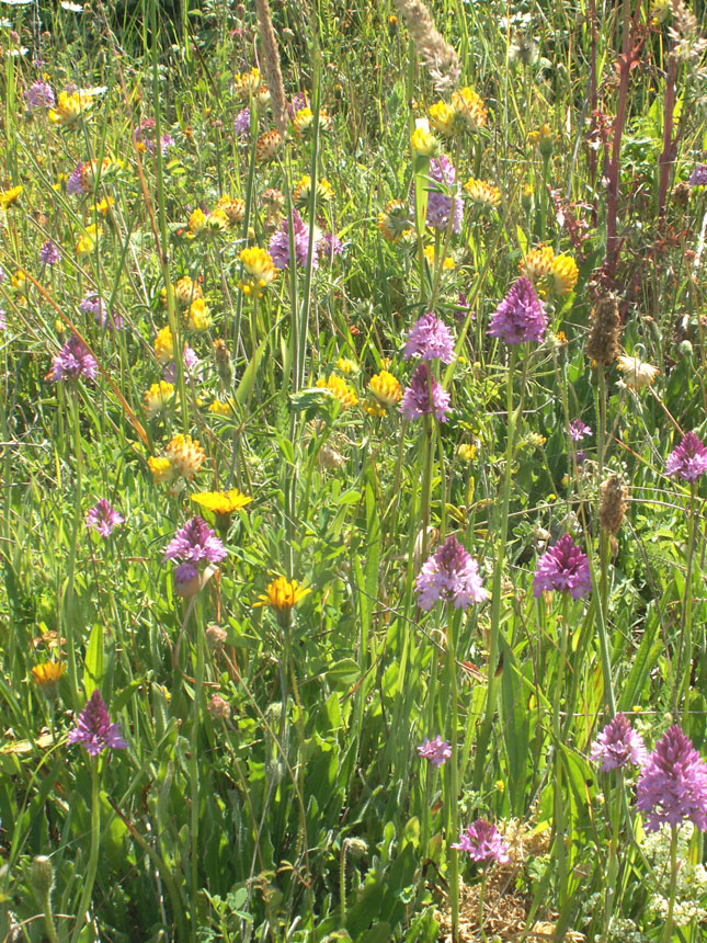 Kidney Vetch and Pyramidal Orchids on the Buckingham Bank