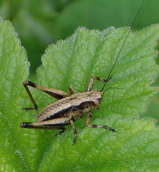 Dark Bush Cricket (Photograph by Andy Horton)