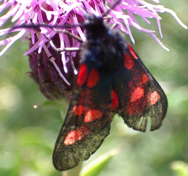 Burnet Moth with a very bluish abdomen (not shown)