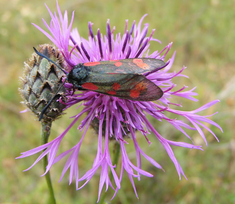 Six-spot Burnet Moth on Greater Knapweed