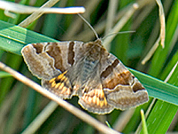 Burnet Companion (Photograph by Paul Lister)
