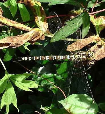Southern Hawker (Photograph by Ray Hamblett) not the specimen seen