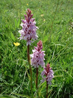 Common Spotted Orchid (Photograph by Ray Hamblett)