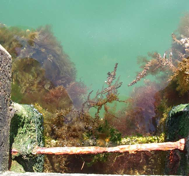 Seaweeds attached to the wharves