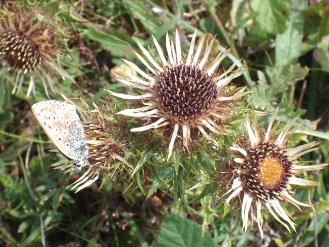 Carline Thistle with Chalkhill Blue