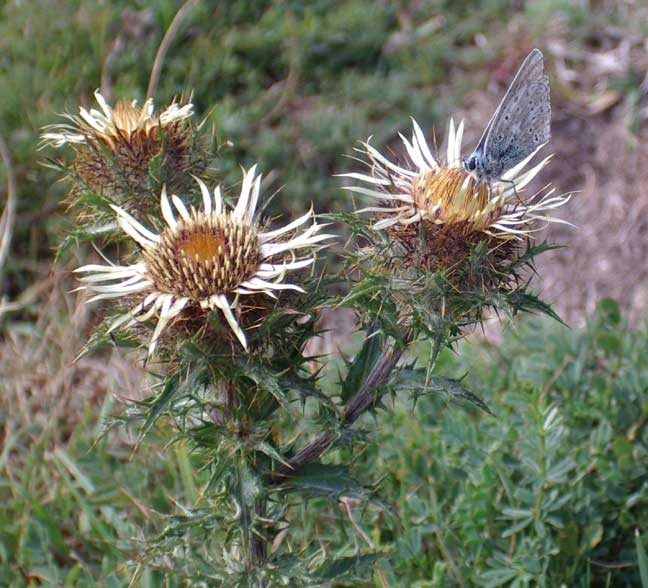 Carline Thistle was a favoured nactar plant for Chalkhill Blues and Meadow Browns