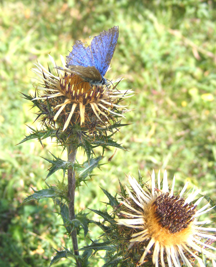 Carline Thistle with green leaves