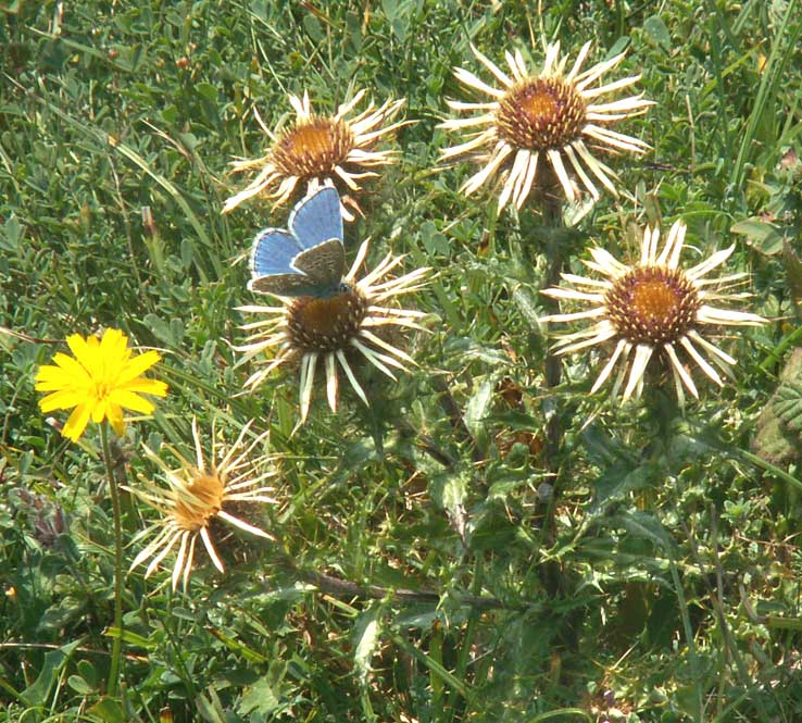 Carline Thistle were attractive to butterflies with four butterflies of two or three species when this plant was first observed