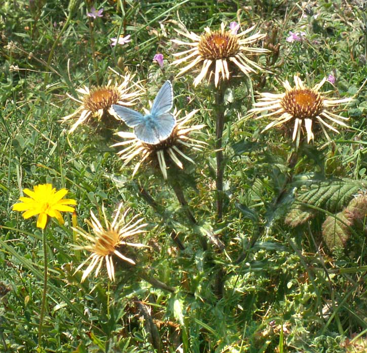 Carline Thistle with an Adonis Blue