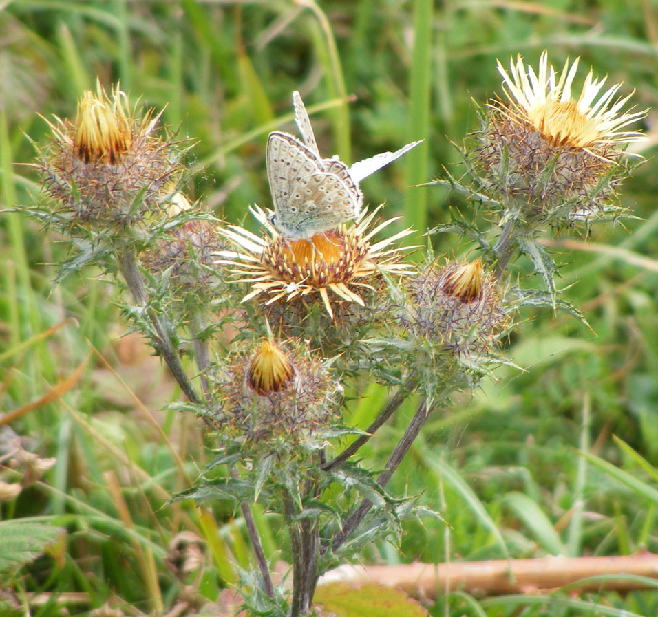 Chalkhill Blues on Carline Thistle