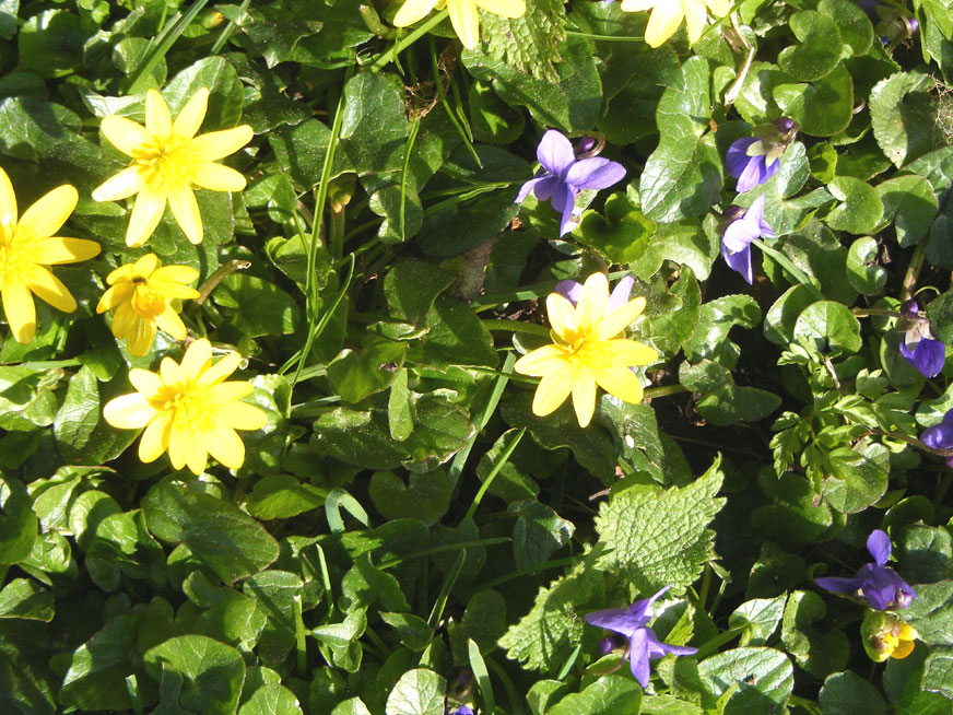 Lesser Celandine and Sweet Violets on the verges of the Coombes Road north of Ladywells
