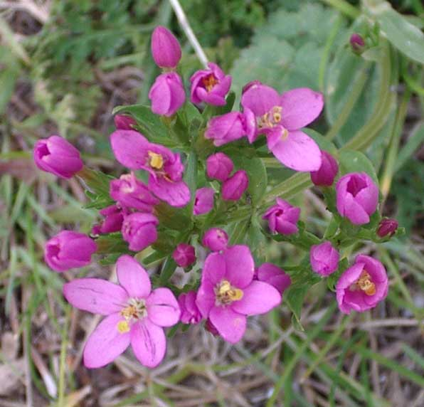 Common Centaury on the footpath from Old Shoreham (Waterworks Road) to Mill Hill (July 2003)