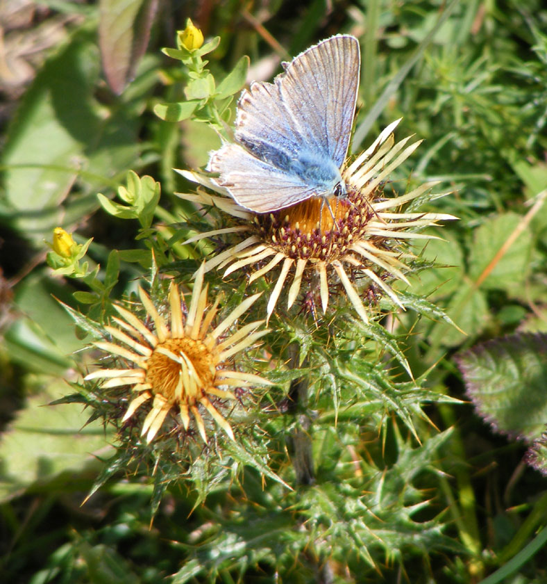 Chalkhill Blue on Carline Thistle