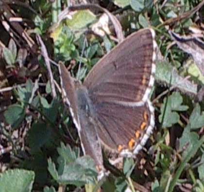 Chalkhill Blue Butterfly female