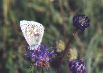 Chalkhill Blue Butterfly on Rampion (Photograph by Andy Horton)