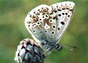 Chalkhill Blue (Photograph by Andy Horton) showing underwing