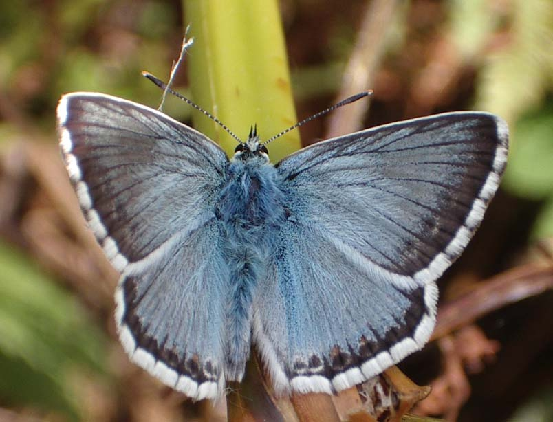 Chalkhill Blue (Photograph by Andy Horton)