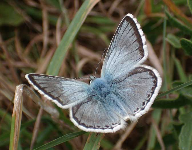 Chalkhill Blue on the Triangle, Mill Hill, 2005
