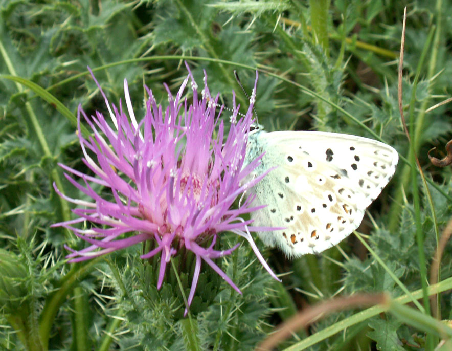 Chalkhill Blue visiting a Stemless Thistle