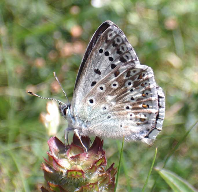 This male Chalkhill Blue was behaving like a female