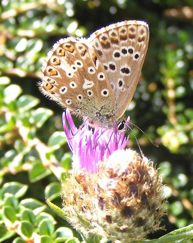 Chalkhill Blue (female) on Hardhead on the Mill Hill Cutting