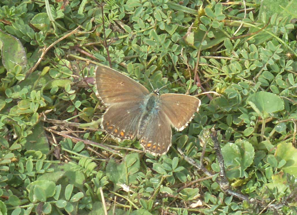 The female Chalkhill Blues were still crawling amongst the young prostrate Horseshoe Vetch to lay their eggs