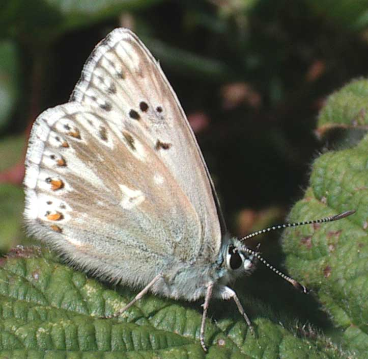 Chalkhill Blue (underwing) from Mill Hill