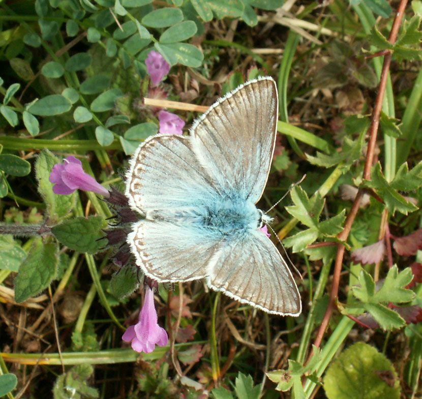 Click links to a Chalkhill Blue in habitat image