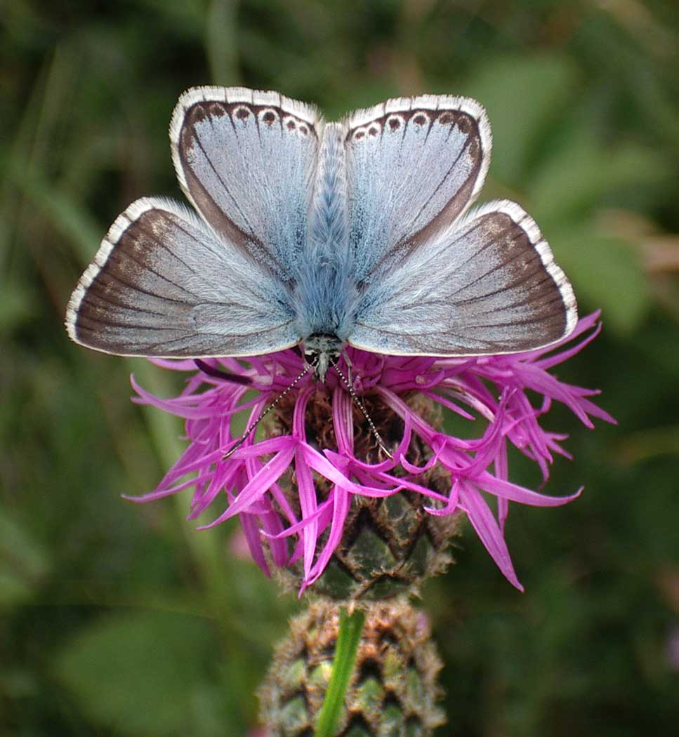 Chalkhill Blue on Greater Knapweed on Mill Hill
