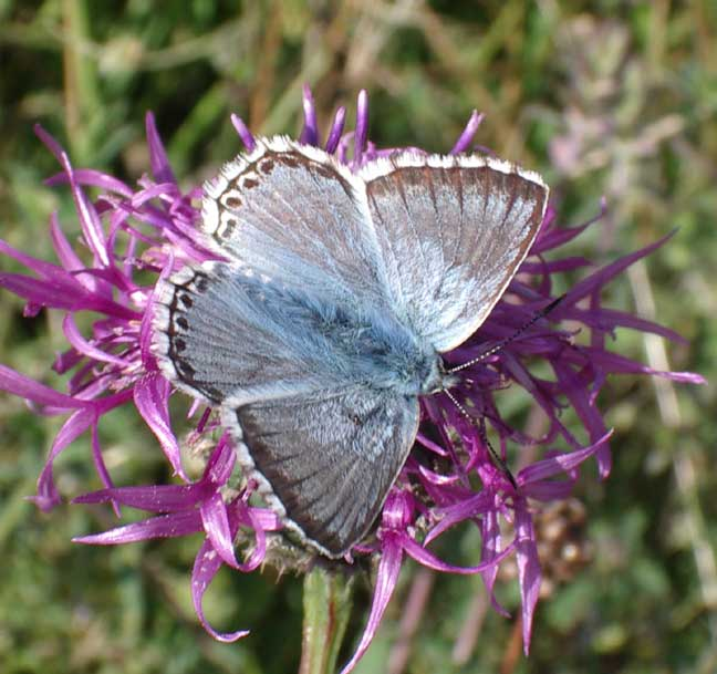 Chalkhill Blue Butterfly (male)