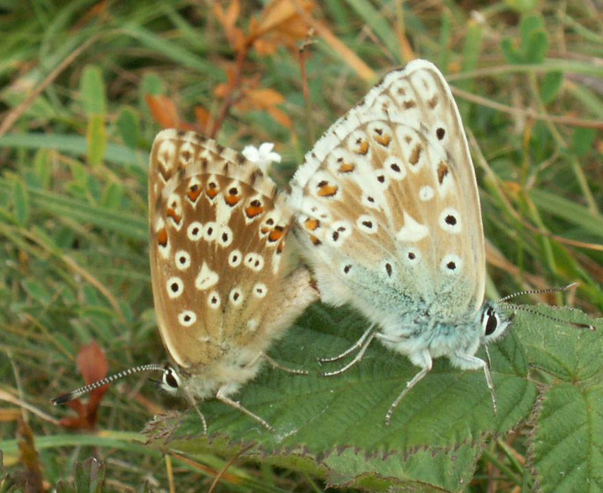 Chalkhill Blues about to mate on a Bramble leaf