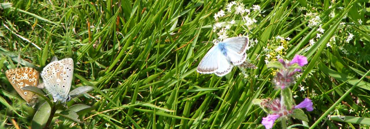 Chalkhill Blues on Mill Hill (two mating, and one paired male visting Squinancywort)