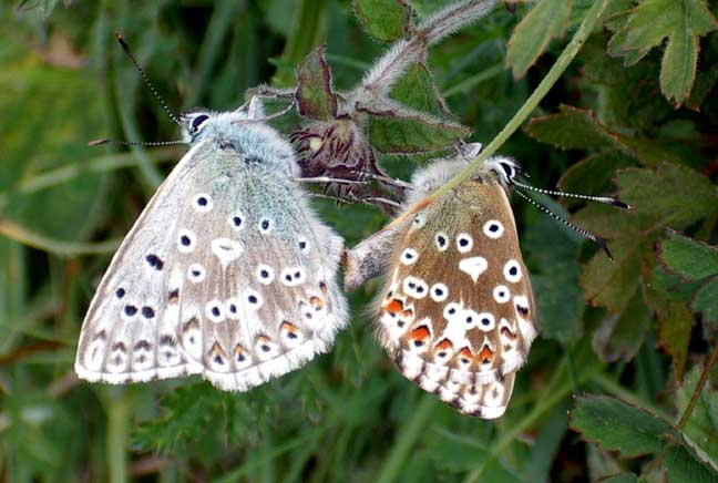 Common Blues (Photograph by Andy Horton)