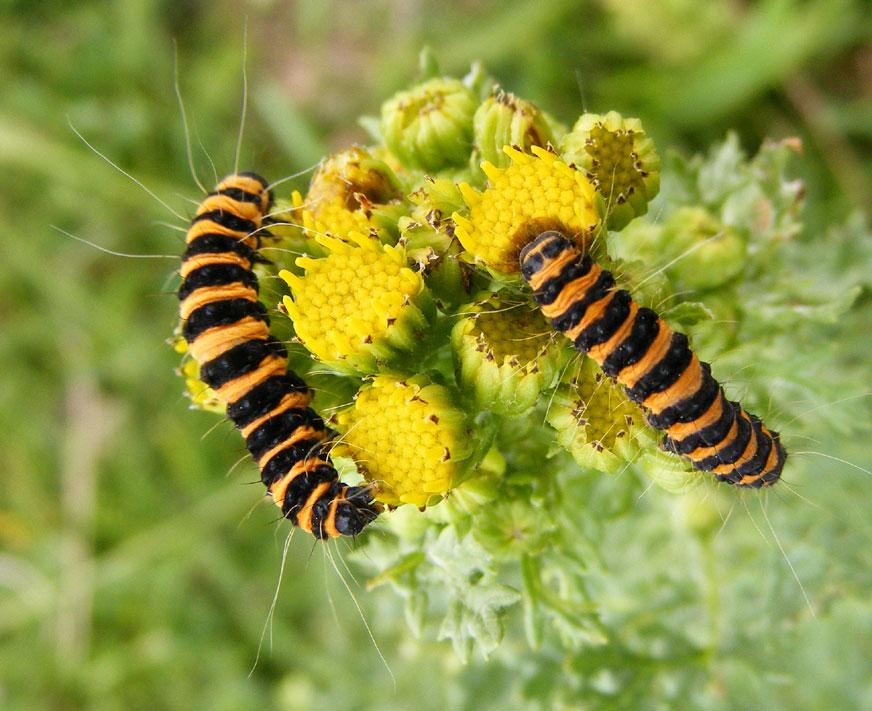 Cinnabar moth caterpillars on ragwort british wildlife for What does a caterpillar rash look like