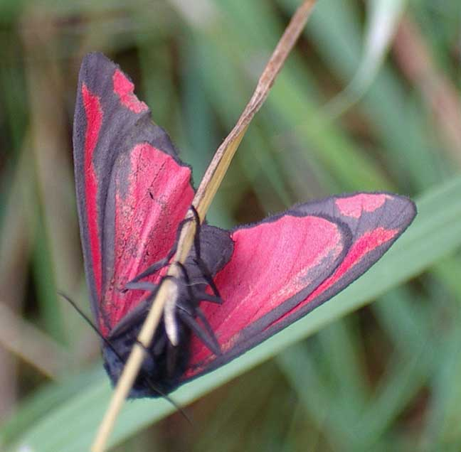 Cinnabar or Burnet Moth ?