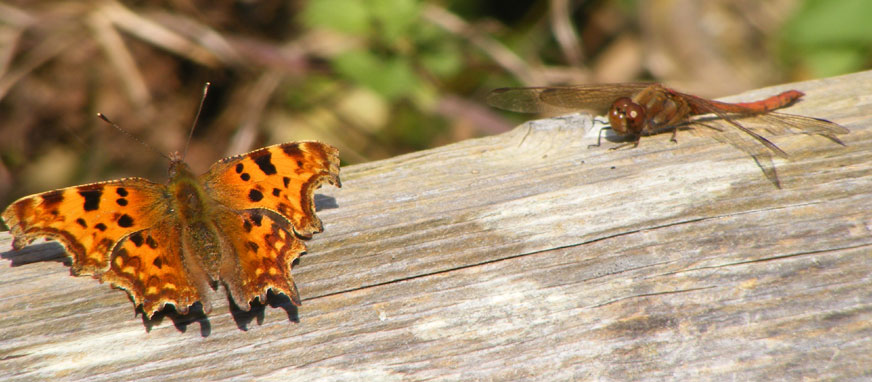 Comma Butterfly and Common Darter