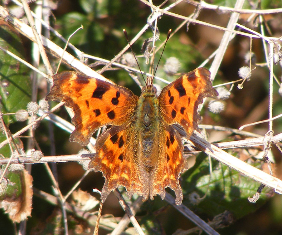 Comma on the Waterworks Road verges