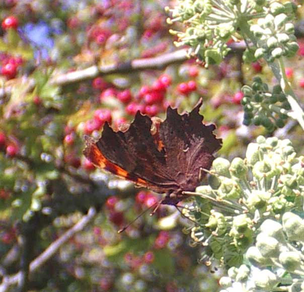 The Comma can be difficult to see when its wings are closed