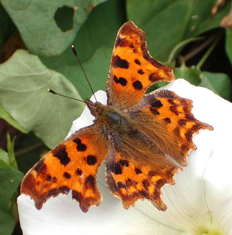 Comma Butterfly (Photograph by Andy Horton)