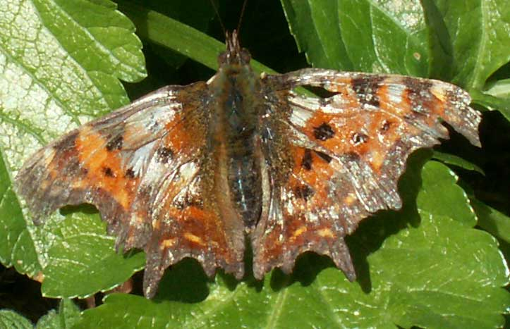 Comma, rather the worse for wear