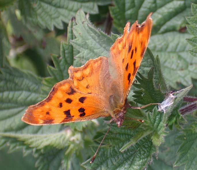 Comma (less black markings than usual)