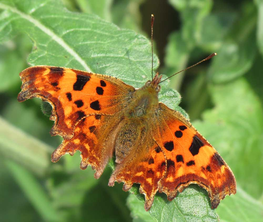 Comma Butterfly on Mill Hill