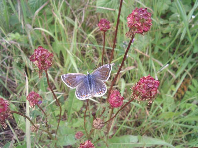 Common Blue on continental Salad Burnet