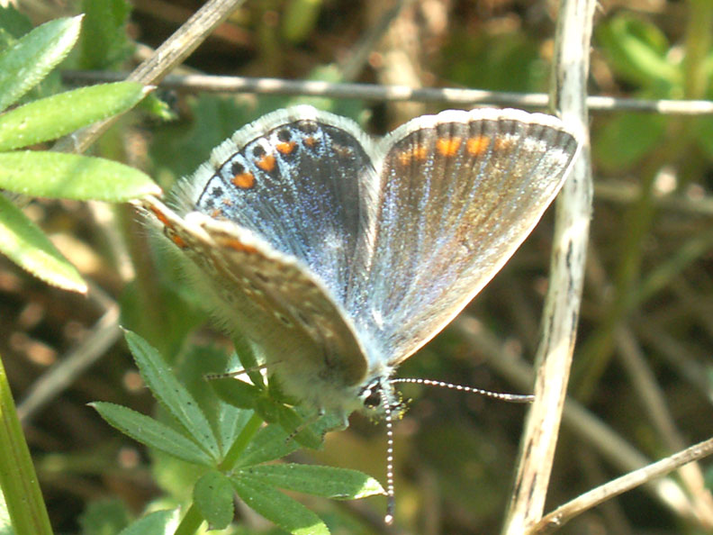 Female Common Blue Butterfly