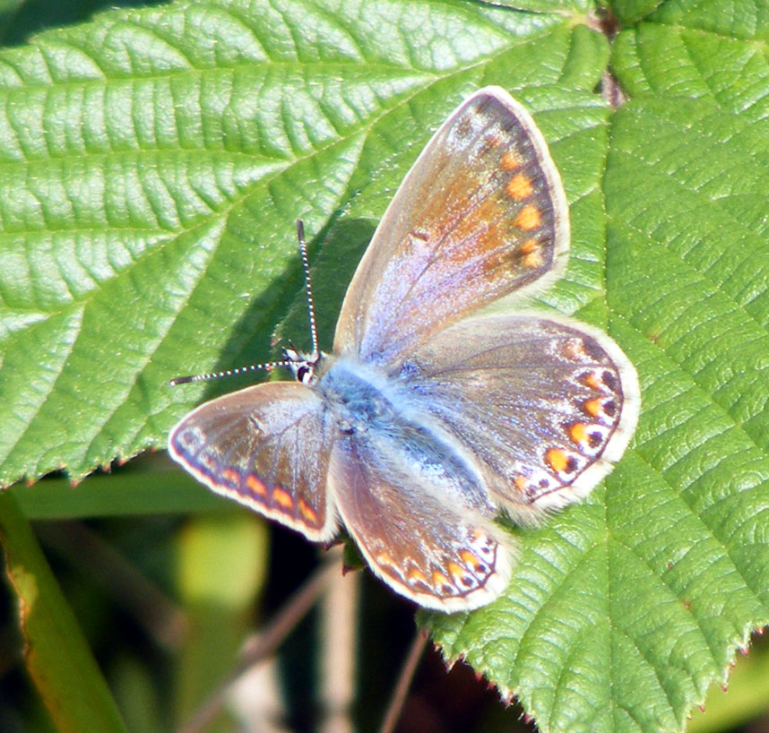 Common Blue female