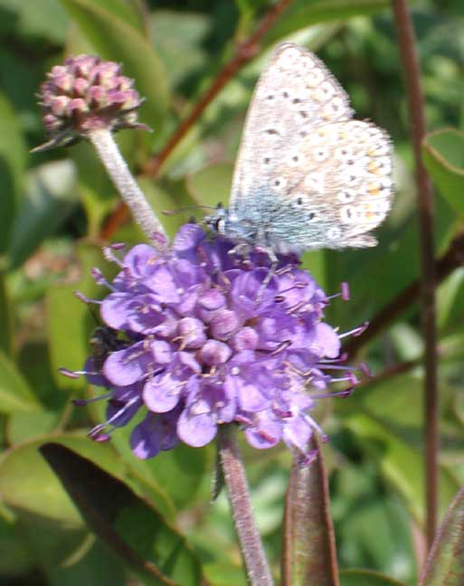 Common Blue on Devil's Bit Scabious