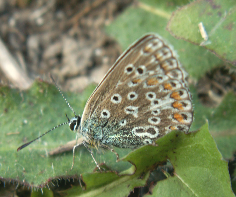 Common Blue on the Pixie Path