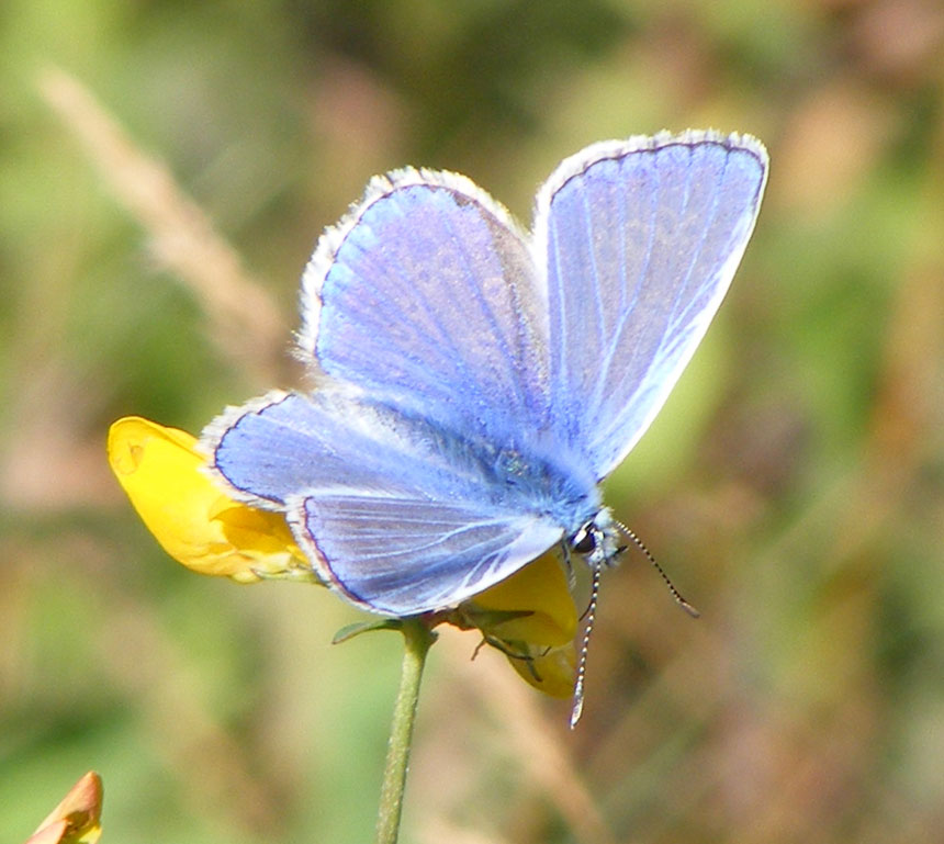 Common Blue (male) Butterfly