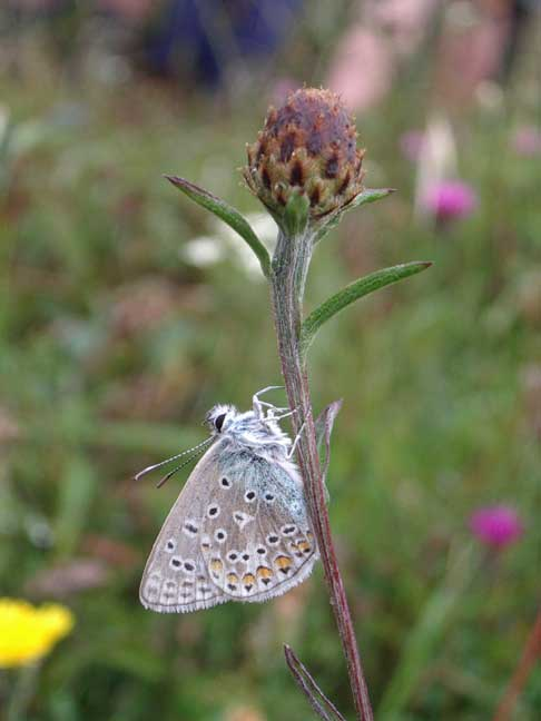 The Common Blue Butterflies were hiding in the overcast conditions